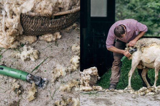 Bauer beim Scheren der Schafe
