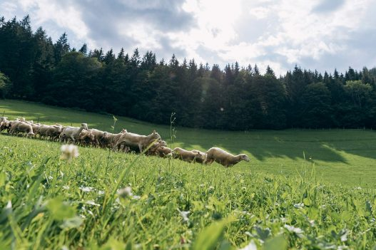 Schafe auf der Weide am Biobauernhof Orth