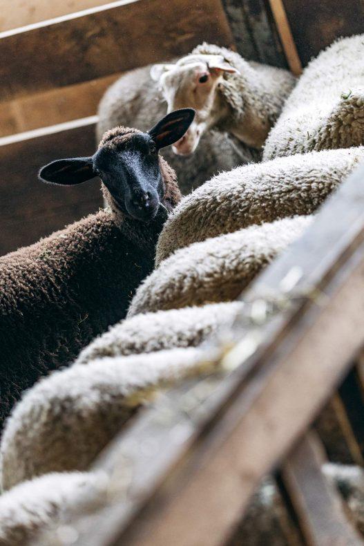 Schafe am Orth Biobauernhof